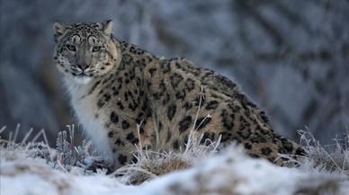 Un leopardo de las nieves en una reserva en cautividad en el Reino Unido.