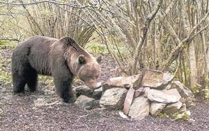 El enorme oso Pyros inspecciona unas piedras en sus dominios del Vall dAran, en octubre del 2012.