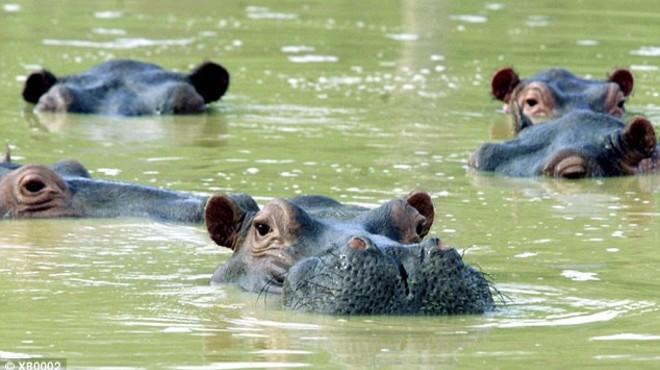 Les autoritats colombianes decideixen castrar els hipopòtams del narcotraficant Pablo Escobar