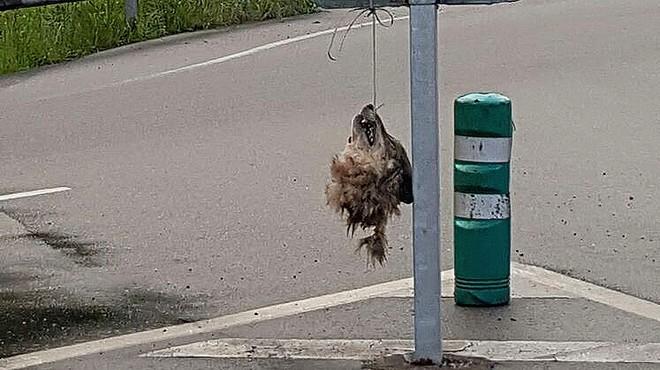 Trobat el cap d'un llop penjat en un senyal de trànsit a Astúries