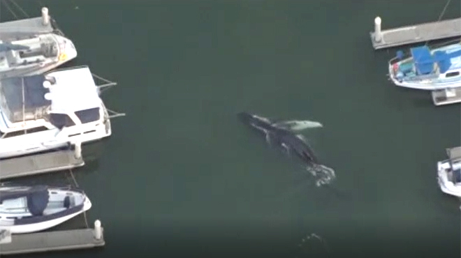 Una ballena queda atrapada durante horas en un puerto deportivo de California