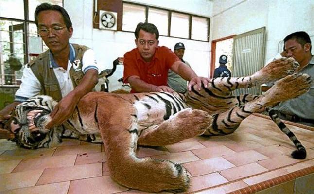 Las huellas del tigre