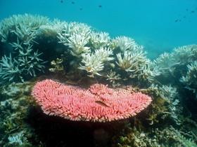 Coral blanquinós a lilla de Halfway a la Gran Barrera de Coral, a Queensland (Austràlia).