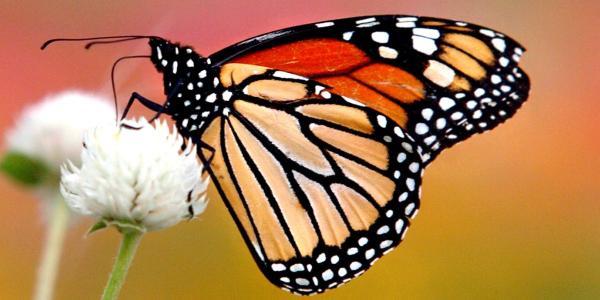 La esperanza de la mariposa monarca