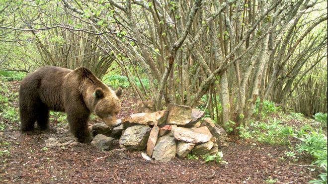 La liberación de un oso pardo esloveno en la Vall dAran.