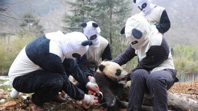 Cuatro cuidadores usan los trajes de panda durante el entrenamiento de un cachorro, en el centro Wolong.