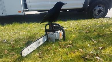 Un cuervo agresivo tiene aterrorizados a los carteros de Vancouver