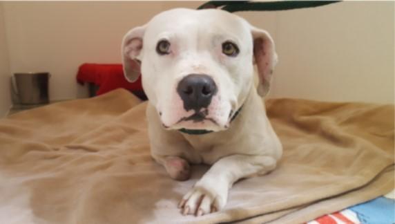 Treya, la perrita que se arrancó la pata para liberarse de la cadena que la tuvo 5 años atada
