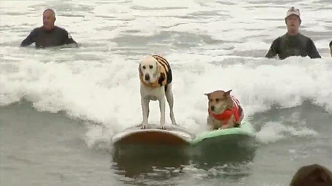 Más de 50 perros se han dado cita el primer sábado de este mes de agosto en el Unleashed Petco Surf Dog Competition.