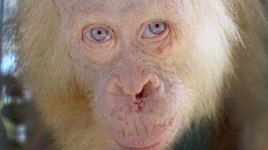 Se busca nombre para la orangutana albina