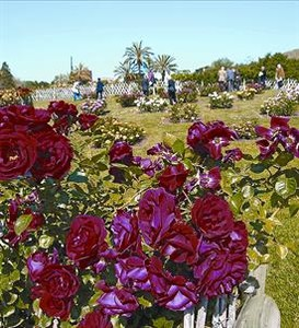 Concurso de rosas 8 Algunas de las muchas rosas del parque.