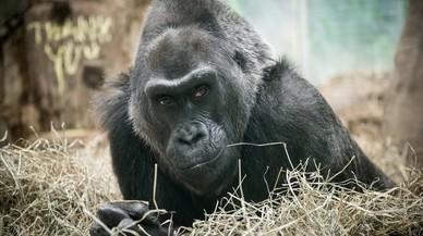 Colo, unahembra de gorila de llanura, en las instalaciones del zoo de Columbus, en una imagen del año 2015.