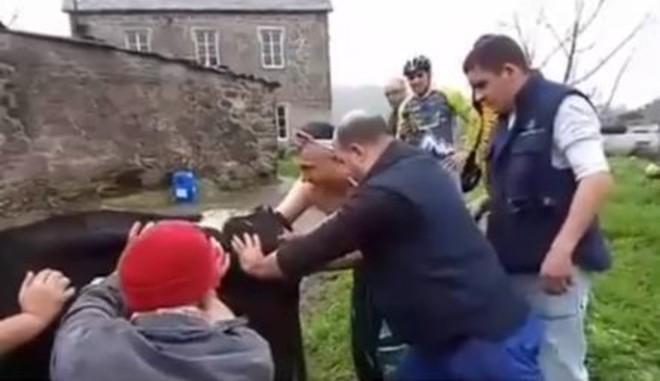 El grupo de ciclistas paró y pudo ayudar a que la vaca diera a luz.