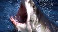 Un surfista, hospitalitzat després de l'atac d'un tauró a Austràlia