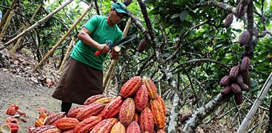 Una empleada corta mazorcas de cacao en Guayaquil (Ecuador).