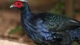 Lophura edwardsi (faisán de Edwards). Ave galliforme de vistoso plumaje azul que vive exclusivamente en zonas selváticas del centro de Vietnam. Fue redescubierto en 1996 tras 70 años sin noticias, pero ahora hace una década que no se ha vuelto a observar pese a las expediciones organizadas con este fin. Amenazada por las talas y los insecticidas.