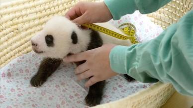 Una panda 'octogenària' dona a llum bessons