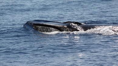 Els cetacis 'esperen' la protecció del corredor mediterrani