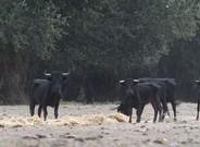 Toros fam�licos en la Illa dels Bous, cerca de Tortosa.
