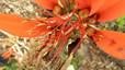 Erythrina schliebenii. Especie de eritrina o árbol de coral con flores de colores vistoso que solo se ha localizado en el bosque de Namatimbili-Ngarama, en Tanzania. Redescubierta recientemente por biólogos tanzanos tras haber sido dada por extinta oficialmente en 1998.