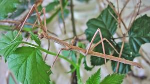 Phasmatodea insecto palo