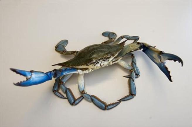 Un ejemplar de cangrejo azul.