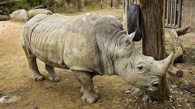 L'últim rinoceront de Barcelona