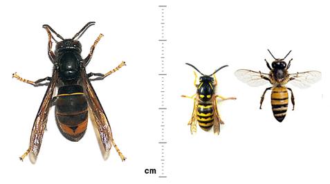 L'expansi� de la vespa asi�tica per Catalunya