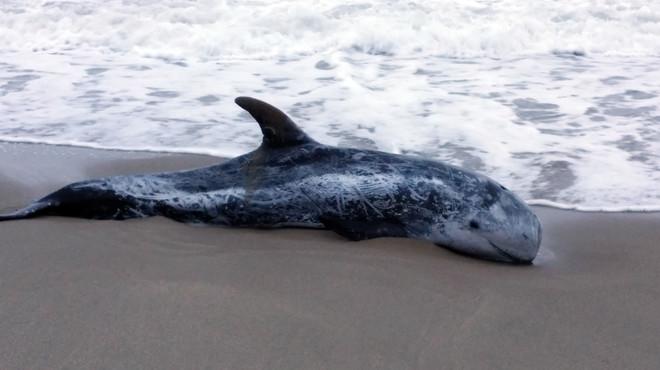 Ejemplar de calder�n encontrado en la playa de Sant Salvador del Vendrell