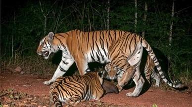 'Milagro' en Tailandia: hallados bebés tigres en un parque natural