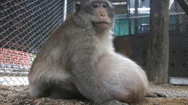 Tailandia pone a dieta al macaco 'Tío gordo'