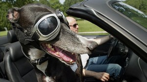 xperez1415694 caprice the greyhound is seen in a convertible car wearing s160726124753