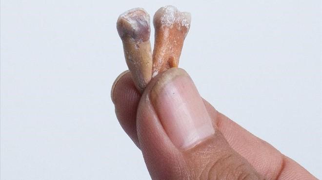 Dos de los dientes, de talla muy peque�a, localizados en el yacimiento paleontol�gico de Mata Menge, en la isla indonesia de Flores.