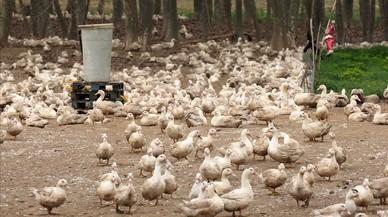 Patos en una explotación avícola del municipio de Sant Gregori, en la comarca del Gironès.