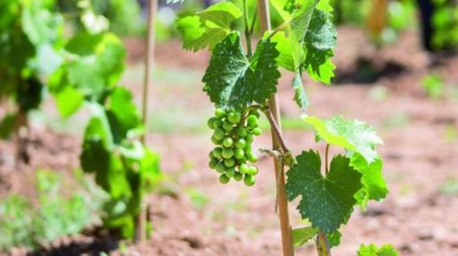 Las primeras uvas de la 'Vinya d'en Sabater' en Santa Coloma de Gramenet.