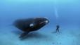 Un buzo mira a la cara a una ballena en medio del oc�ano.