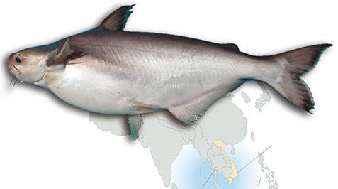 Panga peix característiques i valors nutricionals