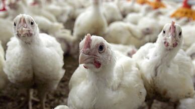 Prop de 300.000 aus sacrificades a Holanda contra la propagació de la grip aviària
