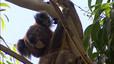 Científics australians defensen el sacrifici massiu de coales