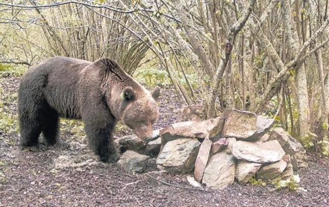 Cuenta atrás para la llegada al Pirineo del oso que debe destronar a Pyros