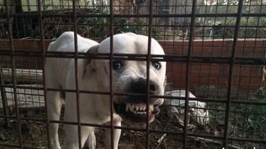 Capturat un gos assilvestrat que atemoria uns veïns del Baix Empordà