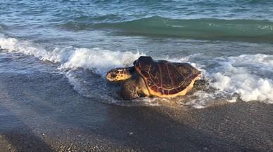 La tortuga boba, en el momento de su liberaci�n, en la playa de El Prat, el pasado viernes.
