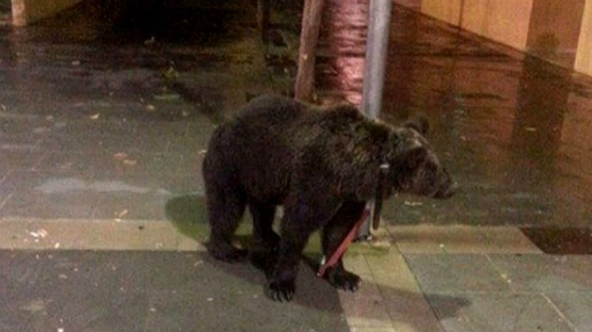 Un domador deja a su oso atado a una farola mientras est� en un bar