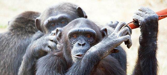 El Gobierno prohibir� por ley toda experimentaci�n con grandes simios