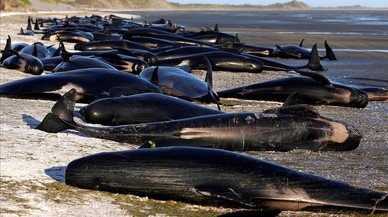 Trobades unes 300 balenes mortes a Nova Zelanda
