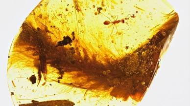 Fragmento de lapieza de ámbar fosilizado con restos de la cola de un dinosaurio,posiblemente de un individuo juvenil, localizado en Myanmar.
