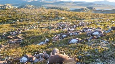 Més de 300 rens moren a Noruega a causa d'una tempesta elèctrica