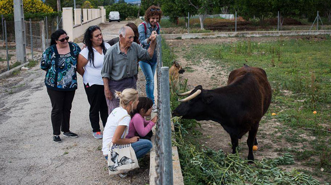 Mobilització per salvar Margarita, una vaca condemnada al sacrifici