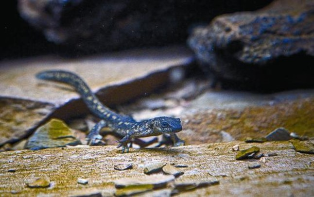 El Zoo abre una instalaci�n para el trit�n del Montseny