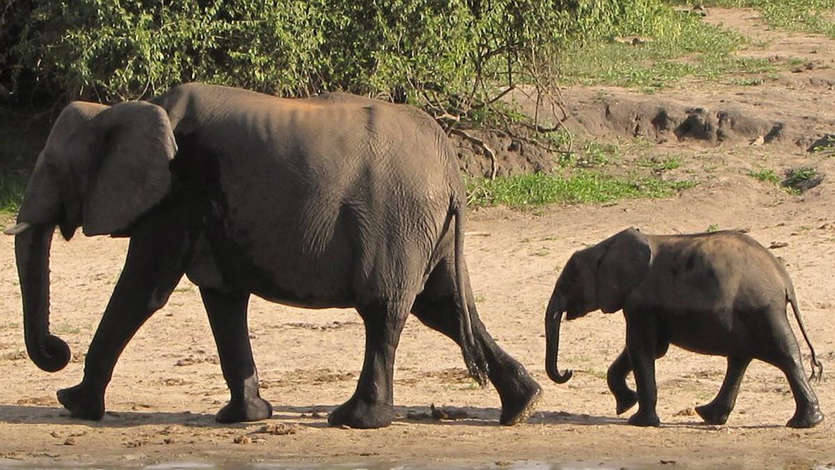V deo de un beb elefante que busca consuelo en su madre - Fotos de elefantes bebes ...